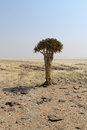 Quiver tree (Aloe dichotoma) in the Namib desert landscape Stock Photography