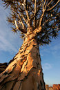 Quiver tree (Aloe dichotoma), Namibia Royalty Free Stock Photo