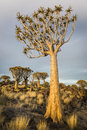 Quiver tree aloe dichotoma in warm evening light namibia southern africa Royalty Free Stock Image