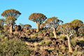 Quiver tree forest,Namibia Royalty Free Stock Photos