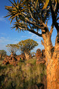 Quiver tree landscape, Namibia Royalty Free Stock Photo