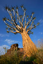 Quiver tree, Namibia Royalty Free Stock Photos