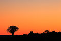 Quiver tree silhouette Royalty Free Stock Photo