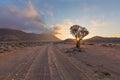 Quiver Tree Sun Starburst