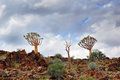 Quiver trees agains the cloudy sky in arid south african landscape Stock Photo