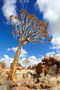 Quiver Trees (Aloe dichotoma) Royalty Free Stock Photo