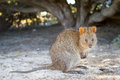 Quokka Royalty Free Stock Photography