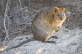 Quokka Stock Photos