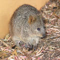 Quokka with Baby Stock Photography