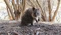 A quokka setonix brachyurus in its natural habitat on rottnest island in western australia Royalty Free Stock Photos