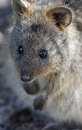 Quokka setonix brachyurus its natural habitat rottnest island western australia Royalty Free Stock Photo