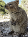 Quokka setonix brachyurus its natural habitat rottnest island western australia Royalty Free Stock Photos