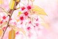 Różowy czereśniowy okwitnięcie Obraz Royalty Free