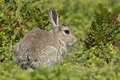 Rabbit in Bracken Stock Image