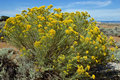 Rabbit Brush (Chamisa) Stock Photography