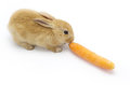 Rabbit with carrot  on white background Royalty Free Stock Image