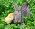 A rabbit and chicken Stock Photography