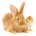 Rabbit and chicken on white background Royalty Free Stock Photo
