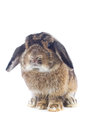 Rabbit cute holland lop on white background Royalty Free Stock Image