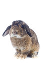 Rabbit cute holland lop on white background Royalty Free Stock Photo