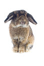 Rabbit cute holland lop on white background Royalty Free Stock Photos