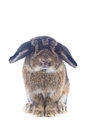 Rabbit cute holland lop on white background Stock Photo