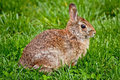 Rabbit eastern cottontail a side view of a sitting alert watchful Stock Images