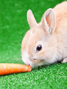 Rabbit eating carrot Royalty Free Stock Images