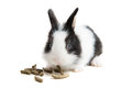 Rabbit eating ration Royalty Free Stock Photography