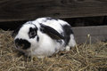 Rabbit a giant striped sitting in hay Stock Photos