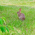 Rabbit in the grass at backyard Stock Photography