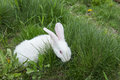 Rabbit in grass white hides green outdoors Royalty Free Stock Photography
