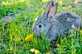 Rabbit gray on the grass with dandelion a a background of green Stock Photos