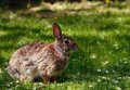 Rabbit in green grass Royalty Free Stock Photo