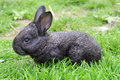 Rabbit on a green grass growing of is in private farms Stock Photos