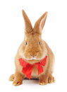 Rabbit image of a brown bunny with bow Royalty Free Stock Photo