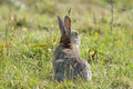 Rabbit keeps watch adult oryctolagus cuniculus Royalty Free Stock Images