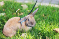Rabbit on lead Royalty Free Stock Photos