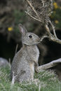 Rabbit oryctolagus cuniculus single mammal in grass uk Stock Photography