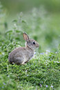 Rabbit oryctolagus cuniculus single young mammal in grass Stock Image