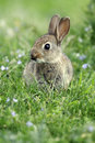 Rabbit oryctolagus cuniculus single young mammal in grass Royalty Free Stock Photography