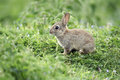 Rabbit oryctolagus cuniculus single young mammal in grass Royalty Free Stock Photos