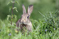 Rabbit oryctolagus cuniculus single young mammal in grass Stock Images