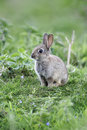 Rabbit oryctolagus cuniculus single young mammal in grass warwickshire may Royalty Free Stock Photography