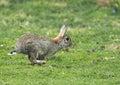 Rabbit Running Royalty Free Stock Photo