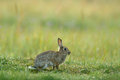 Rabbit in spring flowers. Cute rabbit with flower dandelion sitting in grass. Animal nature habitat, life in meadow. European rabb Royalty Free Stock Photo