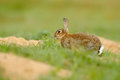 Rabbit in spring flowers. Cute rabbit with flower dandelion sitting in grass. Animal nature habitat, life in meadow. European rabb
