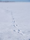 Rabbit tracks snow Royalty Free Stock Image