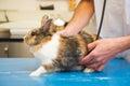 Rabbit at the veterinarian Royalty Free Stock Photo