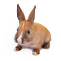 Rabbit whiskers baby with long on a white background Royalty Free Stock Image